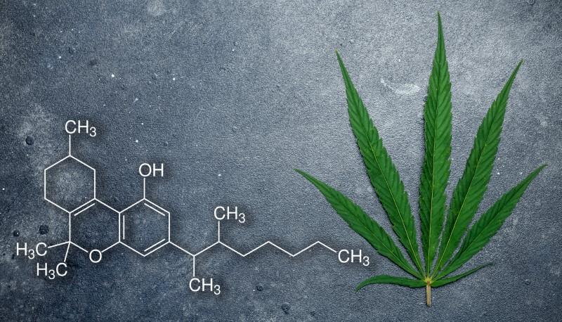 Cannabis (marijuana) leaves on a dark background. Medical marijuana (hemp) and products  with cannabidiol (CBD)